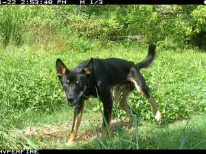 Hunters target wild dog controls in lead up to State poll