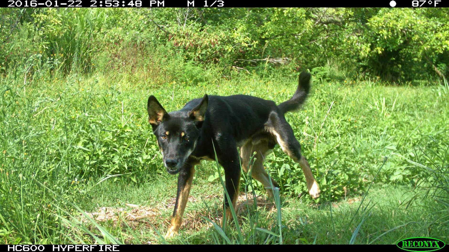 NCLLS - Black wild dog surveillance image.