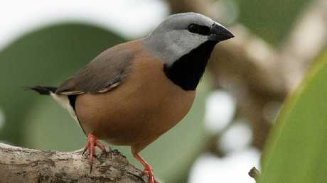 The black-throated finch.