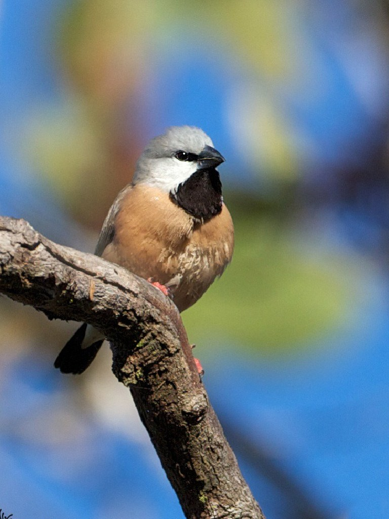 The black throated finch.