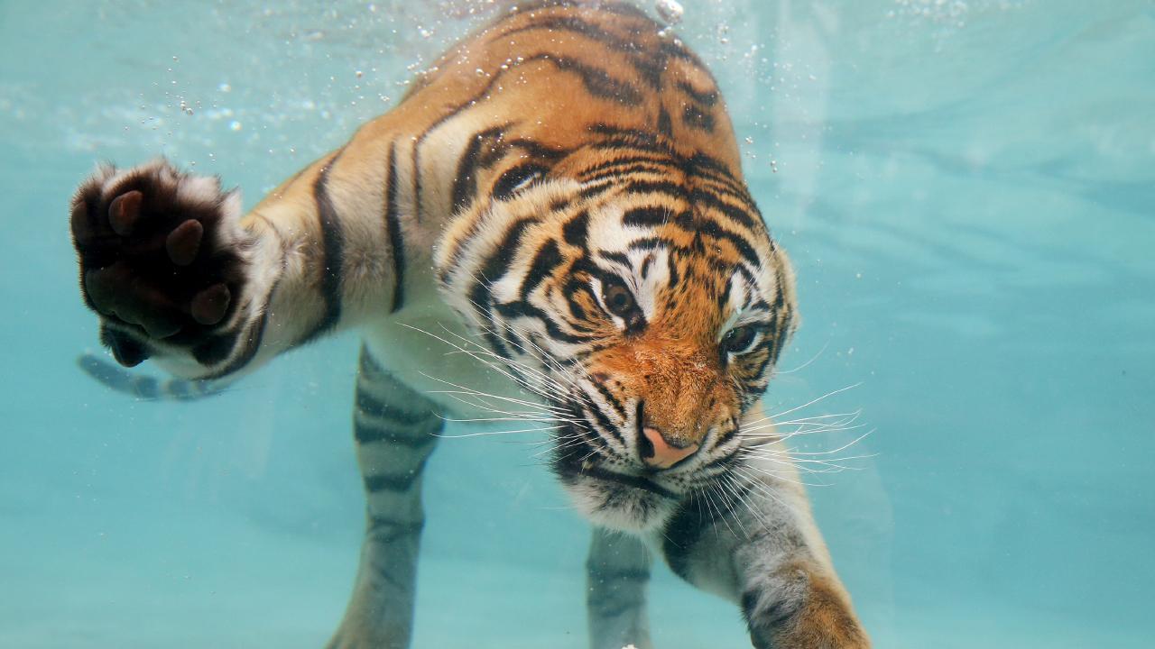 Dreamworld Tiger