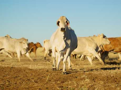 Cattle and meat prices are still unkonwn after what's happened in Queensland. Picture: Thinkstock