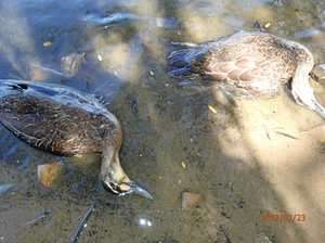 Vet confirms dead ducks likely killed by avian botulism