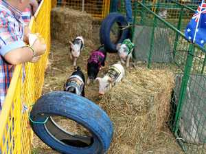 How you can help cure cancer by betting on pig races