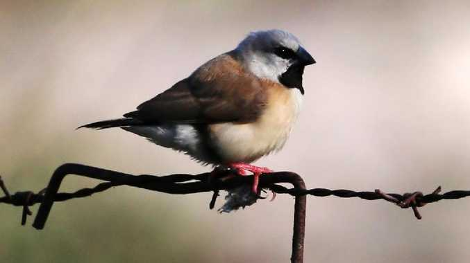 The black-throated finch is at the epicentre of the Adani issue.