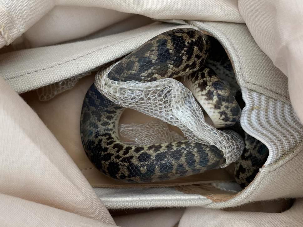Spotted python inside slip-on   Source: Scottish SPCA