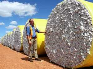 Region's cotton harvest down by 40 per cent due to the dry