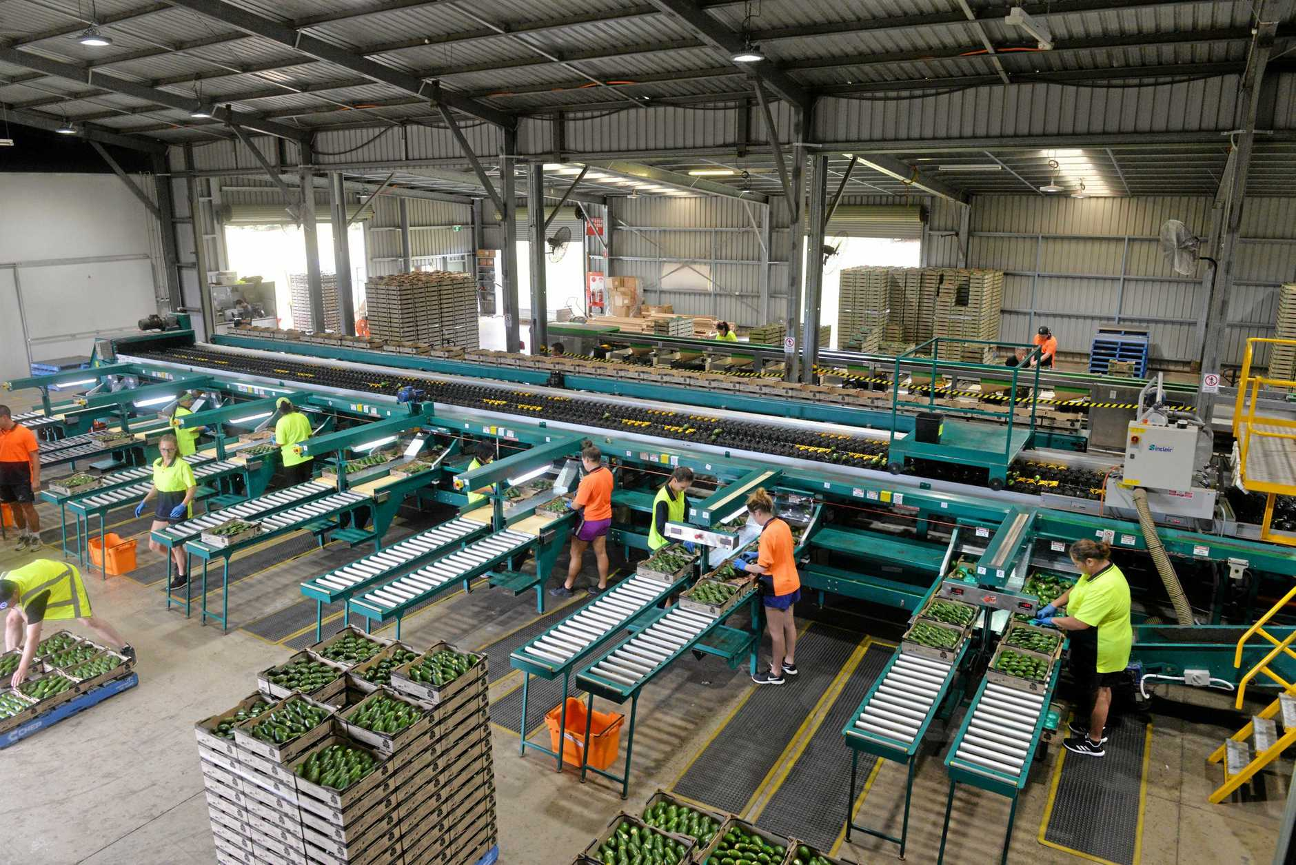 ALL SYSTEMS GO: Production line at Simpson Farms with the avocado harvest well underway.