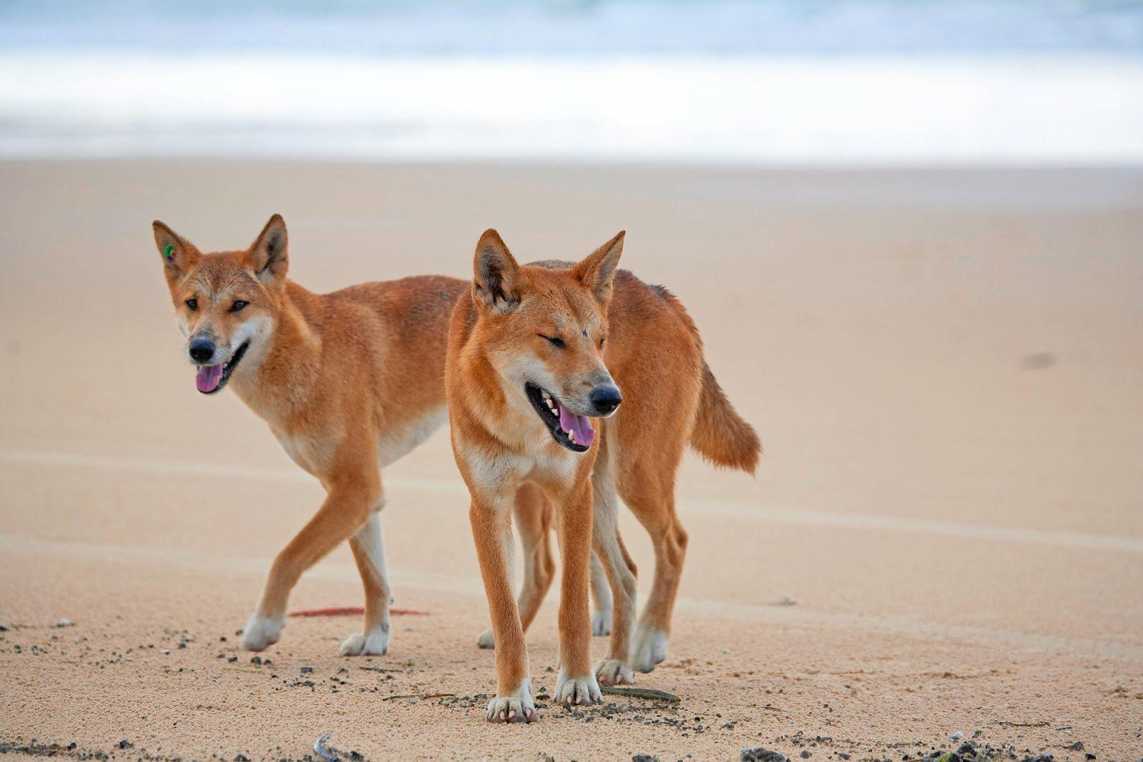 A second dingo involved in last week's mauling of two French tourists on Fraser Island has been destroyed.