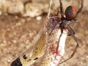 PHOTOS: Redback eats baby brown snake for dinner
