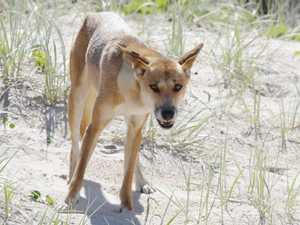 OPINION: Radical response only option for dingoes