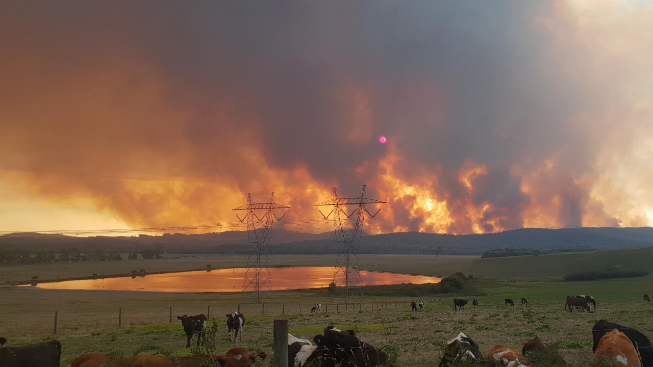 Cattle seek shelter from the blaze. Picture: Ionee Reid
