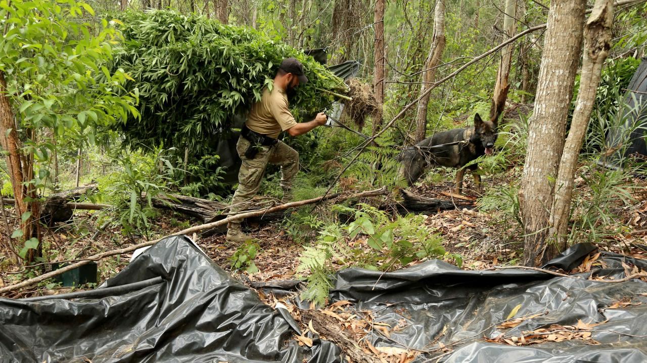 Officers harvesting plants in Coffs Harbour area late last month. Picture: Nathan Edwards