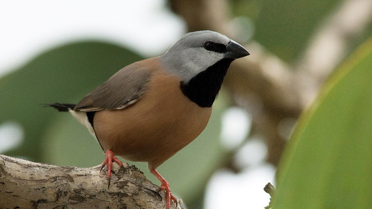 Supplied undated image obtained Friday, July 14, 2017 of a southern black-throated finch. (AAP Image/Birdlife Australia, Eric Vanderduys)