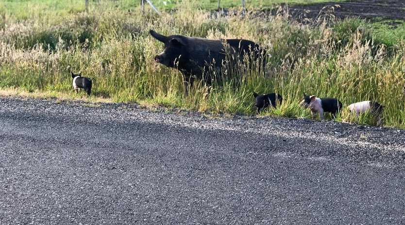 A sow wanders around Tasmania.