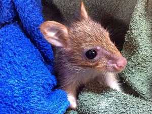 Is it a rat? Is it a joey? 'Very special' baby rescued