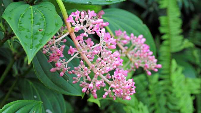 Medinilla speciosa is the perfect plant for baskets or elevated pots, reaching a height of about 1m in a few years.