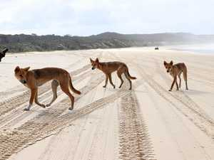 DINGOES: Thousands sign petition calling for killing to stop