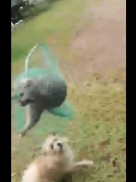 RSPCA has released footage of a possum caught in a net being fed to dogs in Queensland.