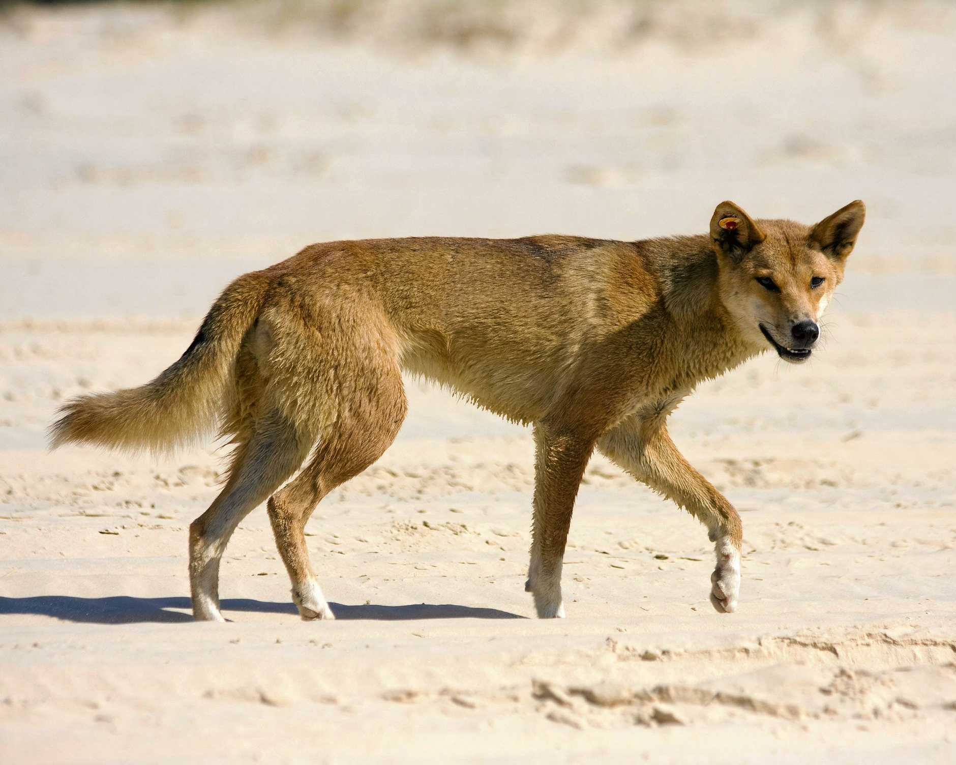 A Fraser Island dingo or native dog as they are widely known.