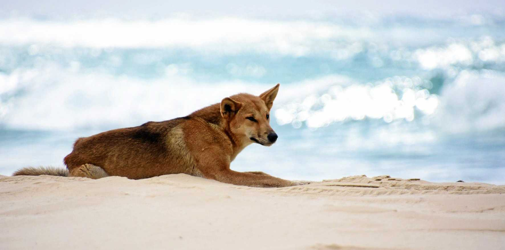 A dingo lazing about on Fraser Island.