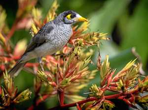 The 'unexpected result' of culling noisy miner birds