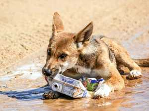 Department defends Fraser Island dingo strategy