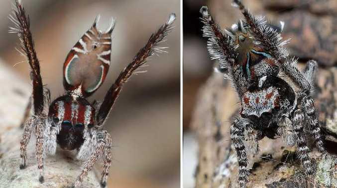 These are some of Australia's newest spiders, Maratus felinus and Maratus combustus. Picture: Joseph Schubert