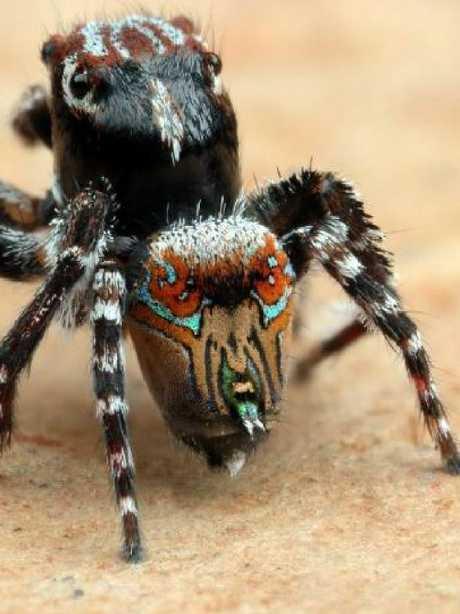 Maratus aquilus. Picture: Joseph Schubert