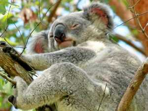 Current rate of growth will kill koalas