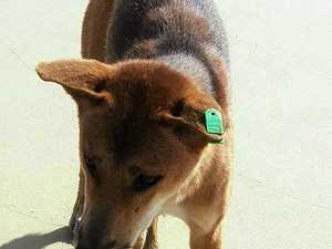 FRASER ISLAND: Tourists accused of attacking dingoes