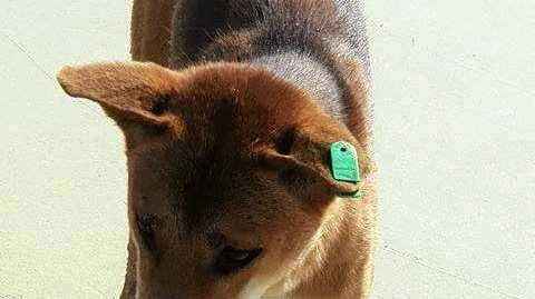 SAD: Green Tag, one of the dingoes   destroyed on Fraser Island after the latest attack.