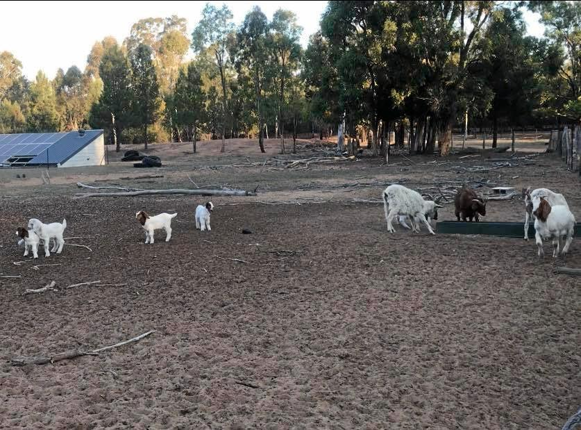 Leyburn farmer Tammy Parrant is doing everything she can to keep a small herd of goats and cattle alive so she can rebuild her livelihood after drought.