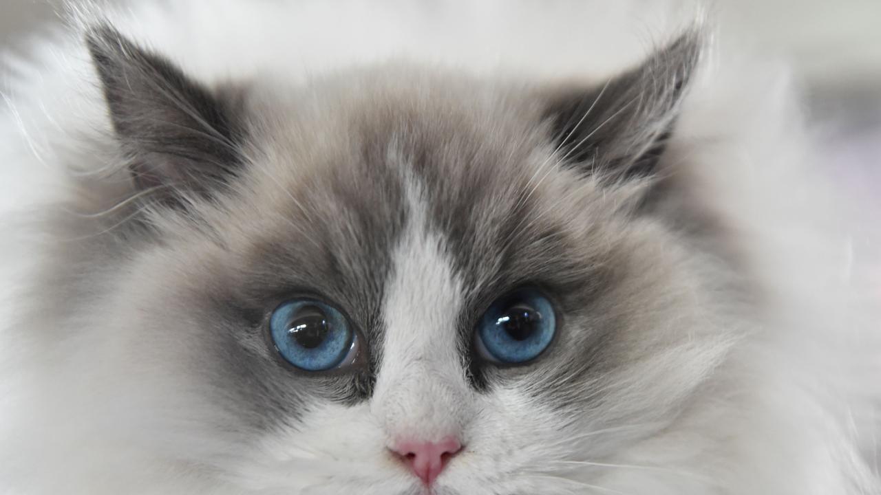 A Ragdoll cat. Picture: Vyacheslav OSELEDKO / AFP