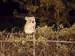 Fencing, road speeds failing koalas