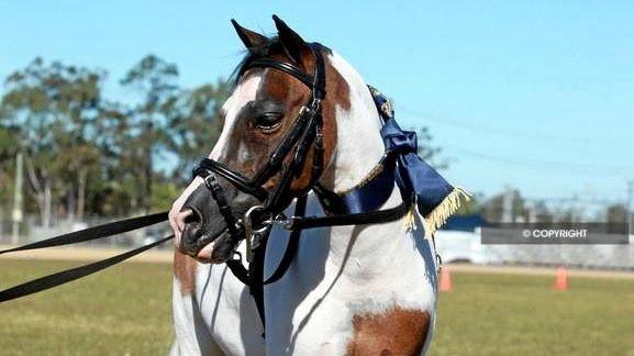Rat Bag Mini Horse Named Cutest On The Sunshine Coast Sunshine