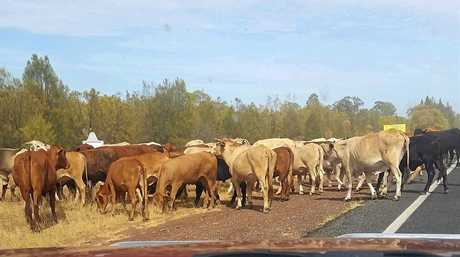 ON THE MOVE: A large herd of cattle have been spotted making their way along the Warrego Highway today.