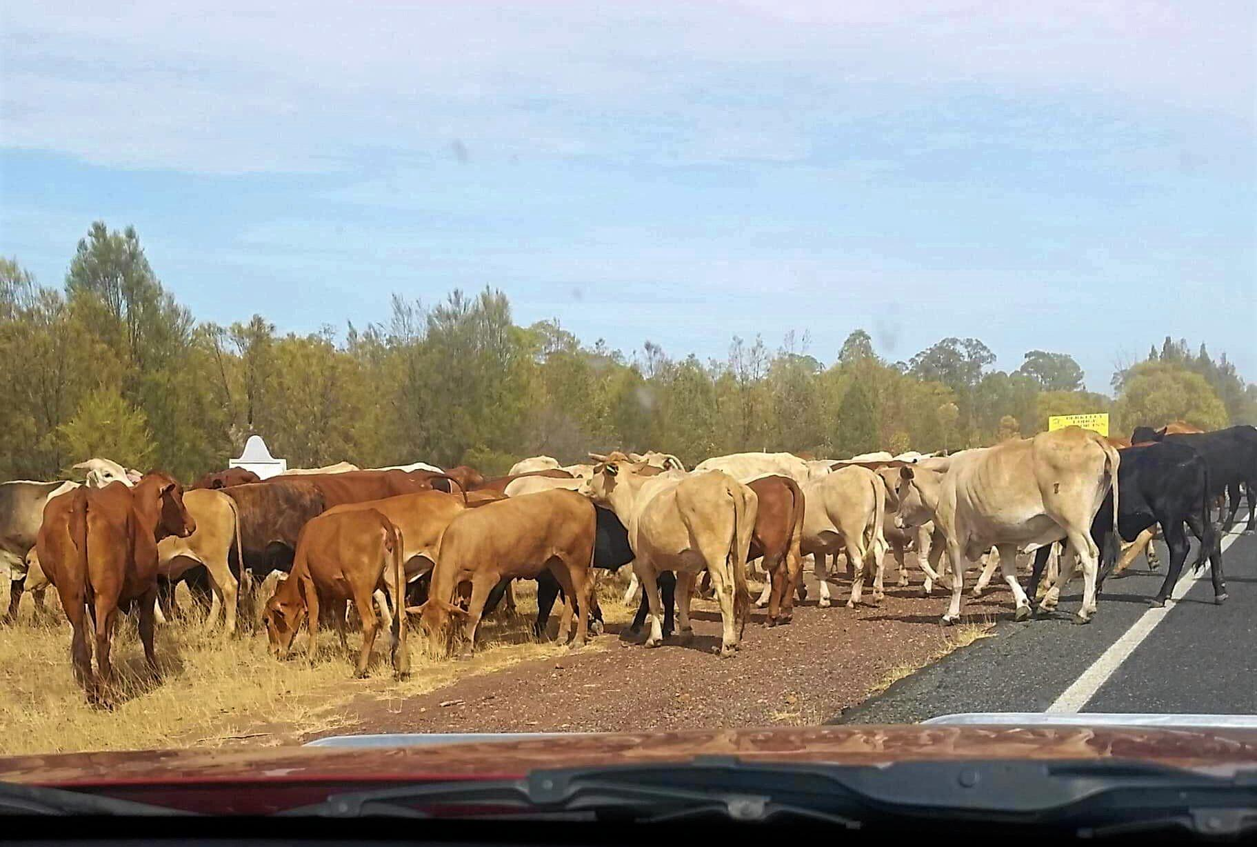A large herd of cattle have been spotted making their way along the Warrego Highway earlier today.