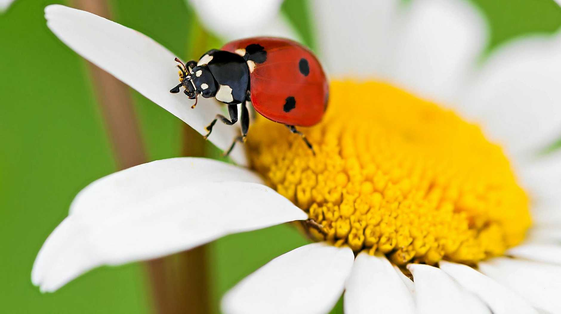 Ladybeetles consume pest insects as food.