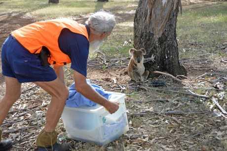 RSPCA wildlife hero Neale Ambler was called in to rescue the koala.