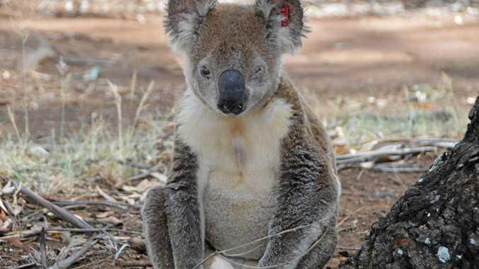 RESCUED: A Kingaroy koala is on its way to the RSPCA animal hospital.