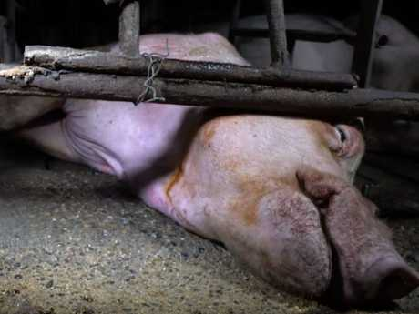 A pig named Boe was caught on camera not being able to get up and licking the floor in an attempt to get food and water. Picture: Still from a video from the Animal Liberation Queensland.