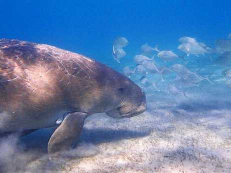Wildlife Talk will include discussion about the dugong.