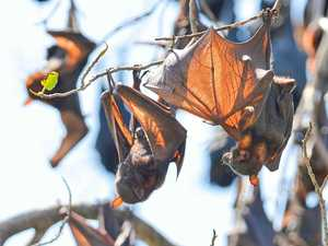 Southern Downs Regional Council's plan to solve bat problem