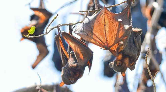 BATTY: Work continues to remove the flying foxes from Caves Rd.