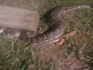 Shocking images as snake eats possum