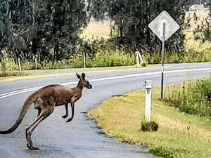 Kangaroo crash on highway