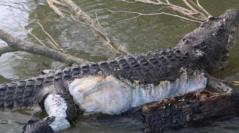 Giant saltwater crocodile Bismarck is believed to have been shot near Cardwell. PHOTO CREDIT: ryanmoodyfishing.com