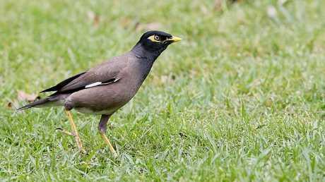 An Indian Myna Bird. Picture: John Appleyard