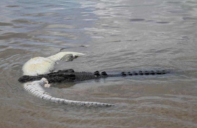 A group of three crocs have torn apart a 4m croc on the Adelaide River. Picture: Andrew Betteridge